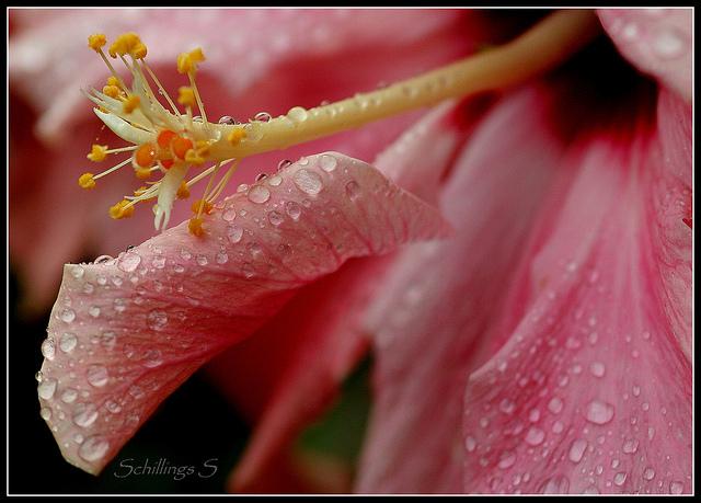 fleur d'hibiscus et rosee
