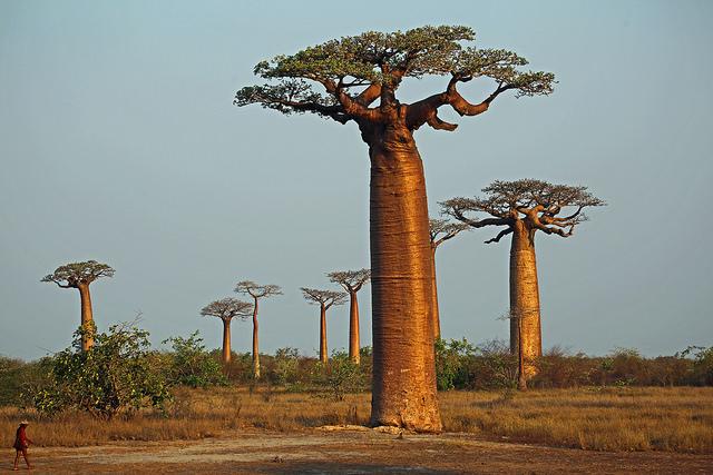 Photo de baobab, credit photo VIL SANDI